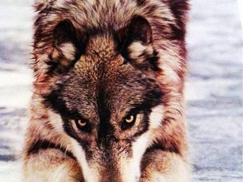Архетип волка как адаптивный инструмент психики